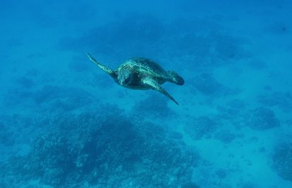 Turtle Watching from Honolulu