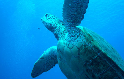 Sea Turtle Snorkel Tours